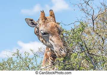 Giraffe in the Franklin Nature Reserve - A Giraffe in the...