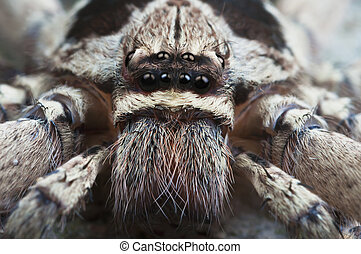 Huntsman spider with scary eyes
