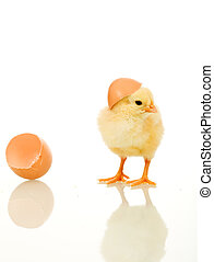 Small fluffy yellow chicken isolated