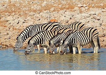 Plains Zebras drinking water - Plains Burchells Zebras Equus...