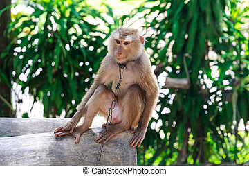 A Young Monkey in Chains in Thailand
