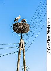 storks in nest, Trzescianka, Podlaskie Voivodeship, Poland