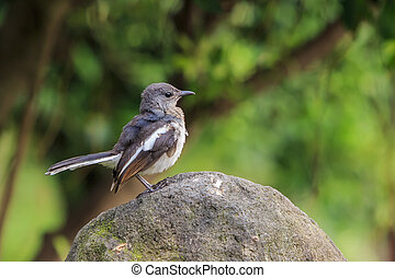 Beautiful bird - Plumbeous water redstart sitting on a rock,...