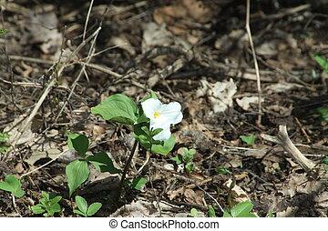 Trillium white grandiflorum - Pretty White Trillium-...