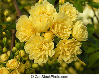 Lady Banks Rose Rosa banksiae lut - Blooming colourfully...