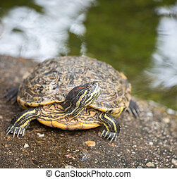 Red-eared Slider - The red-eared slider, also known as the...