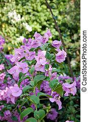 bougainvillea, flor,
