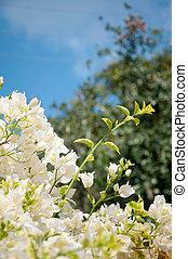 bougainvillea, flor