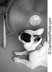 Hot dog,French bull dog in front of electric fan