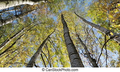 Autumn kroner of birches against the blue sky, turn of a camera