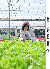 healthy care woman in hydroponic vegetable green house...