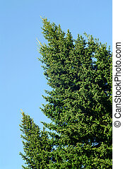 two firs on clear blue sky background