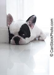 Sleepy French bulldog lay on floor