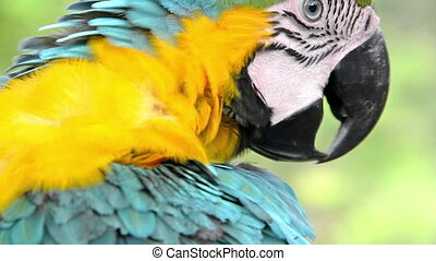 Blue and Yellow Macaw Closeup - Closeup view of a blue and...