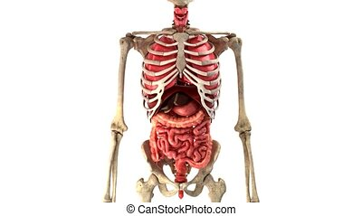 human internal organs in motion loop ready - anatomically...