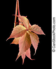 leaves of vine - the leaves of vine are isolated on a black...