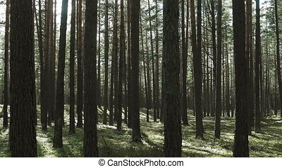 Moving through pine trees forest