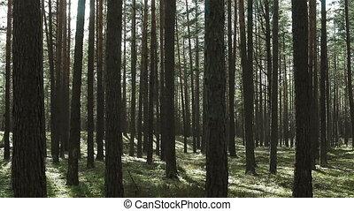 Moving through pine trees forest full of light