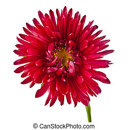flower is isolated on a bklom background