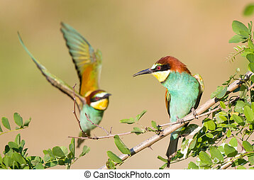 Bee-eater couple - Female bee-eater standing on branch while...