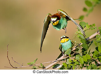 Bee-eater couple - European bee-eaters mating with wings...