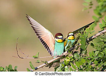 Bee-eater couple - Male bird bee-eater courting to female...