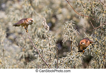 Kestrel courting - Male Kestrel courting female bird on...
