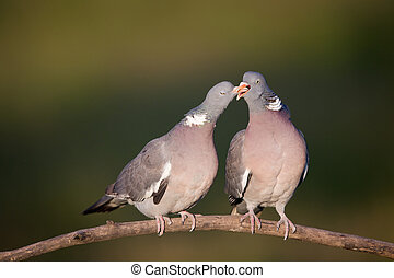 Wood pigeon couple - Tender moment of wood pigeon couple on...