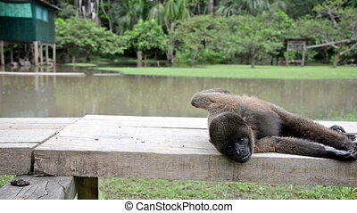 Woolly Monkey Relaxing - Woolly monkey relaxing near...