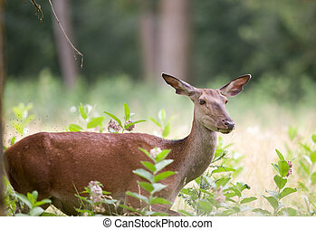 Hind red deer female - Close up of hind standing in high...