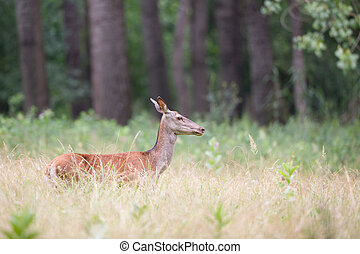 Hind red deer female - Profile of hind walking in high grass...