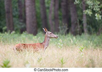 Hind (red deer female) - Profile of hind walking in high...