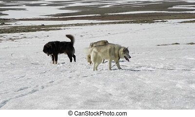 Pack of Huskies ready to pull the sledge