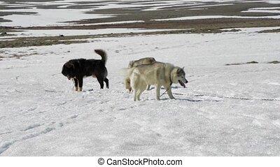 Pack of Huskies