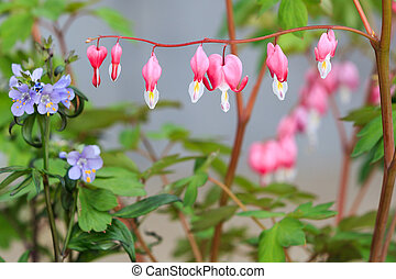 Bleeding Heart flower Dicentra spectabilis bloom in the...