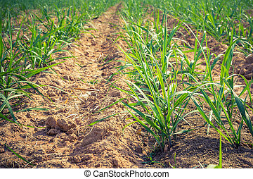 Sugar cane on field agriculture in thailand.