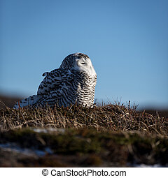 Snowy Owl sitting on the ground - Snowy Owl resting on a...