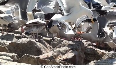Hungry seagulls fighting for food - Very hungry seagulls are...
