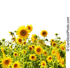 Sunflowers - Yellow sunflowers - isolated over white