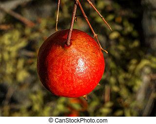 Pomegranate Macro - A pomegranate (Punica granatum) in the...