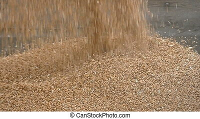 Wheat harvest crop pouring - Wheat harvest, closeup of crop...