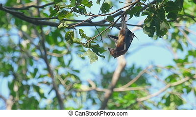 Flying fox hangs on a tree branch - Lyles flying fox...