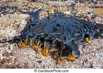 Giant Kelp - Giant kelp anchored to rocks on the exposed...