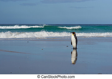 King Penguin - Falkland Islands - King Penguin Aptenodytes...