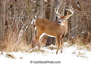 Whitetail Deer Buck - A whitetail deer buck standing in the...