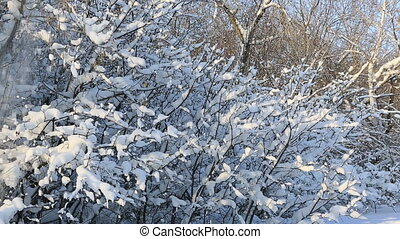 Snowfall on snow covered tree branches in beautiful winter...