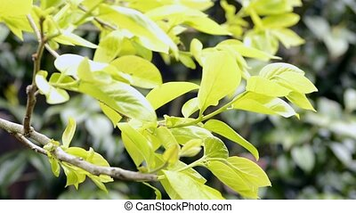 Persimmon tree leaves - Fresh green persimmon tree leaves...