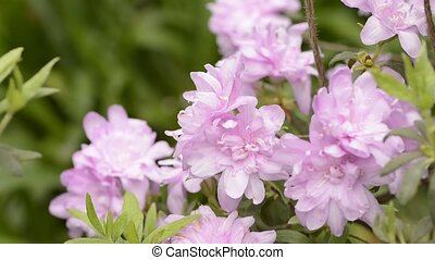 Azalea double flowers - Purple azalea double flowers swaying...