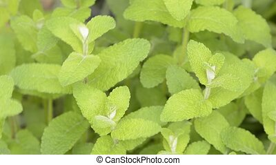 Apple mint plants - Bright green apple mint plants swaying...