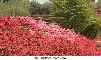 Red and pink azalea - Full blossoming red and pink azalea...